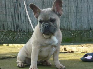 francia bulldog társkereső)
